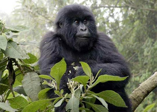Berggorilla im Volcanoes Nationalpark (Ruanda)