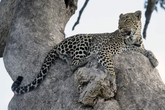 Leopard in der Massai Mara